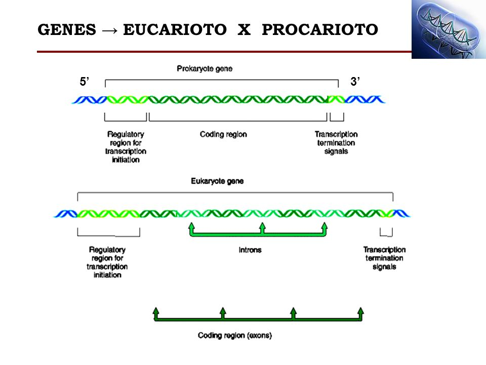 GENES → EUCARIOTO X PROCARIOTO