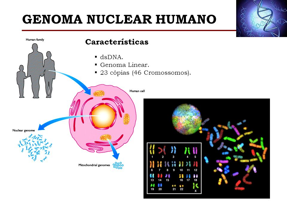 GENOMA NUCLEAR HUMANO Características dsDNA. Genoma Linear.