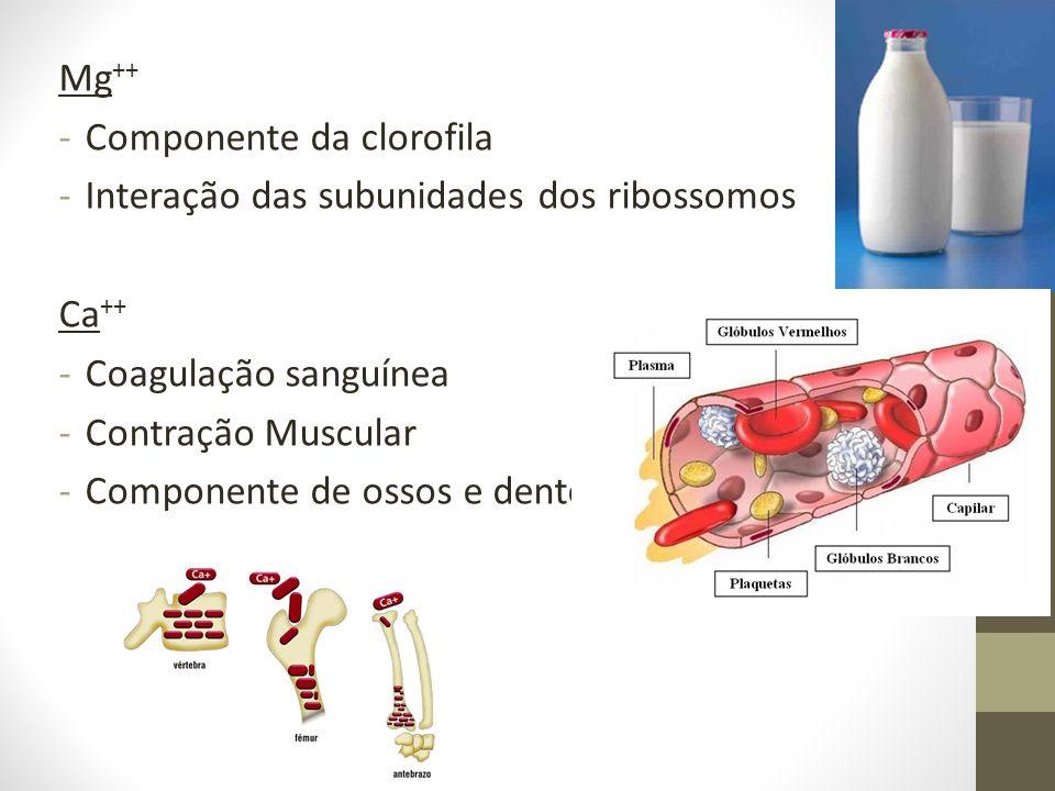 Mg++ Componente da clorofila. Interação das subunidades dos ribossomos. Ca++ Coagulação sanguínea.