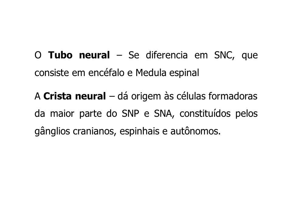 O Tubo neural – Se diferencia em SNC, que consiste em encéfalo e Medula espinal