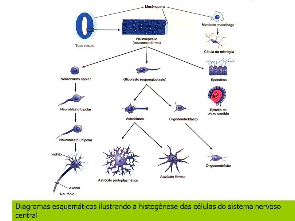 Diagramas esquemáticos ilustrando a histogênese das células do sistema nervoso central