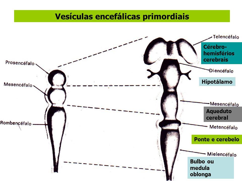 Vesículas encefálicas primordiais