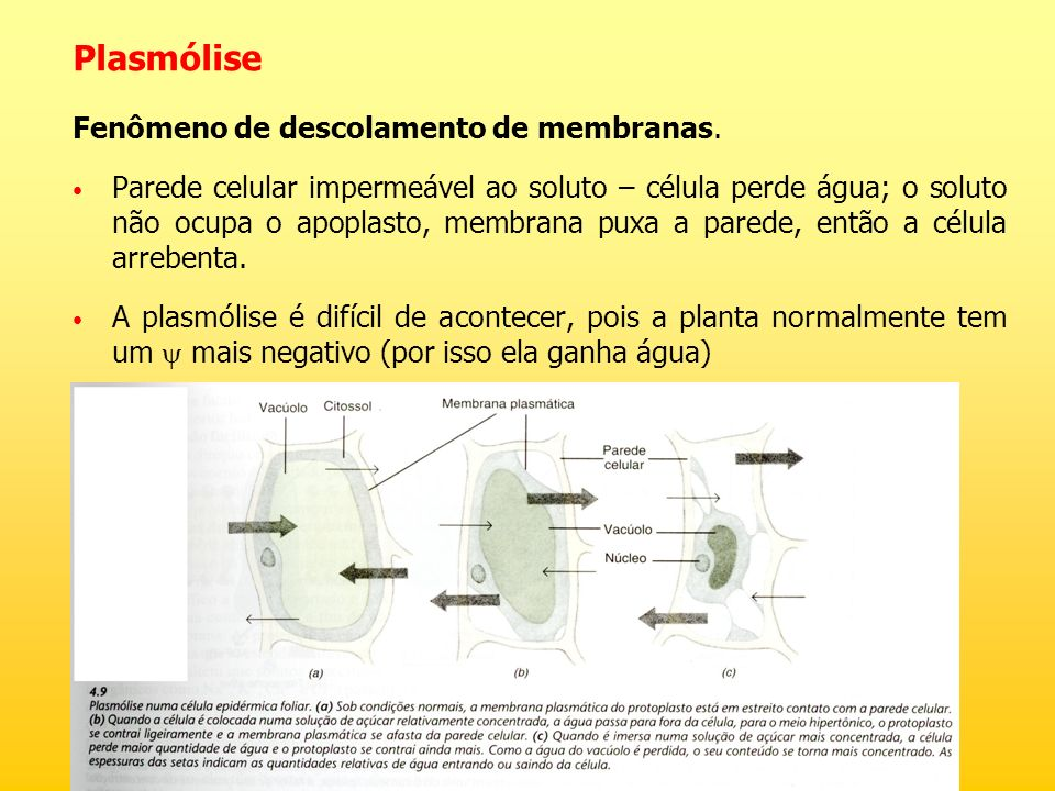 Plasmólise Fenômeno de descolamento de membranas.