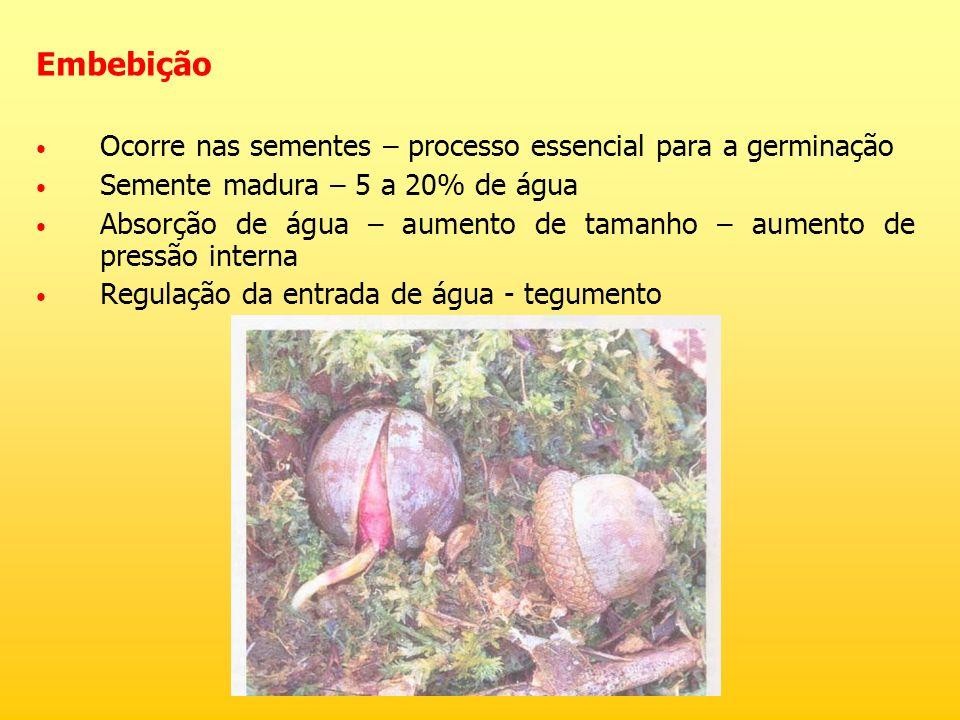 Embebição Ocorre nas sementes – processo essencial para a germinação