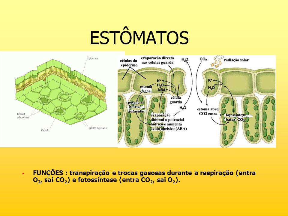 ESTÔMATOS FUNÇÕES : transpiração e trocas gasosas durante a respiração (entra O2, sai CO2) e fotossíntese (entra CO2, sai O2).