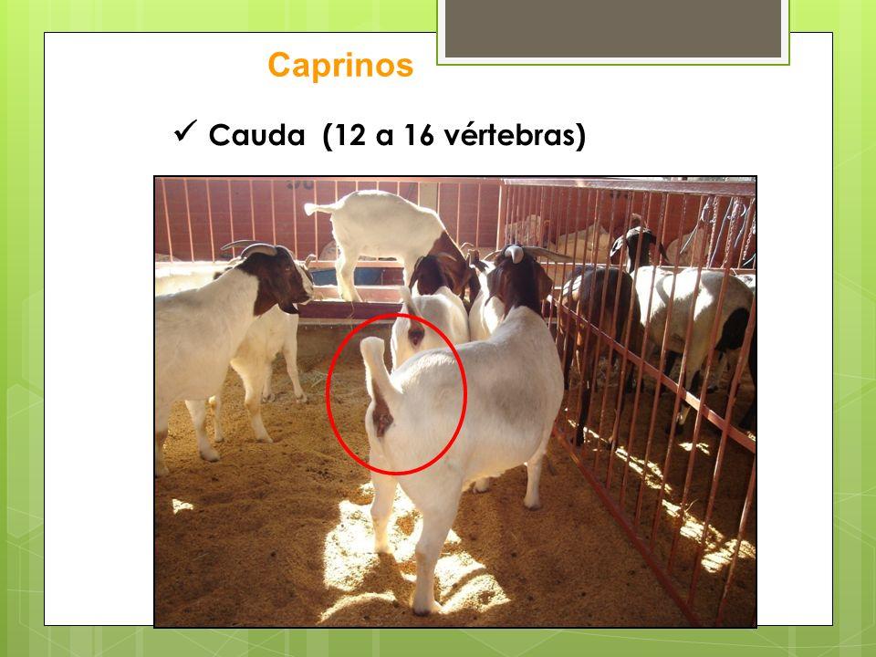 Caprinos  Cauda (12 a 16 vértebras)