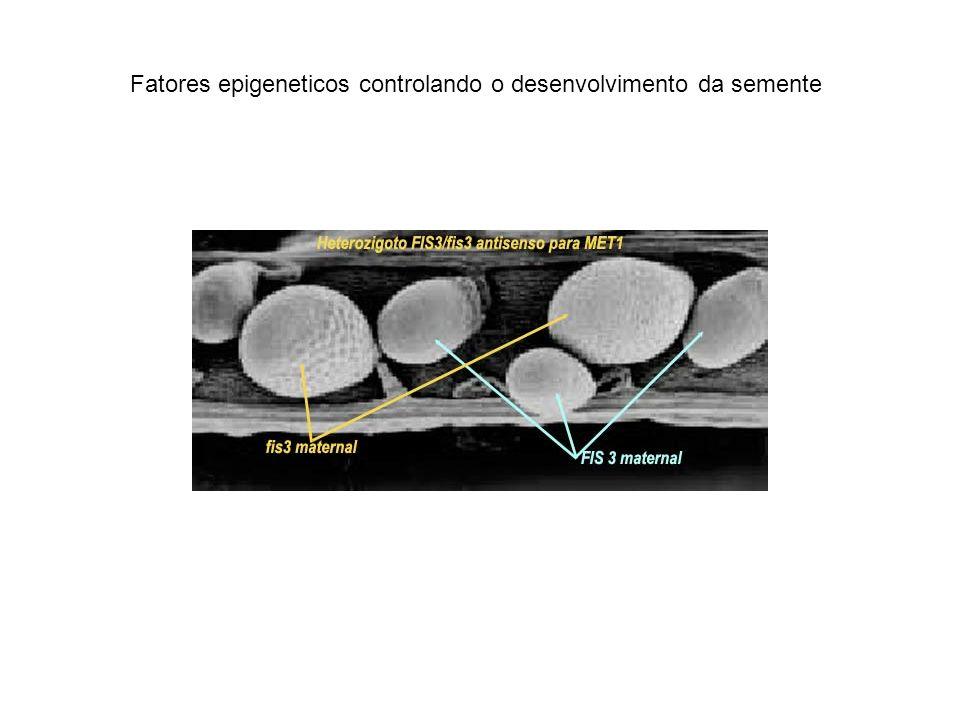 Fatores epigeneticos controlando o desenvolvimento da semente