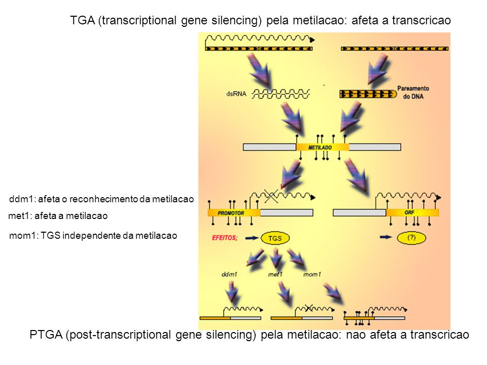 TGA (transcriptional gene silencing) pela metilacao: afeta a transcricao