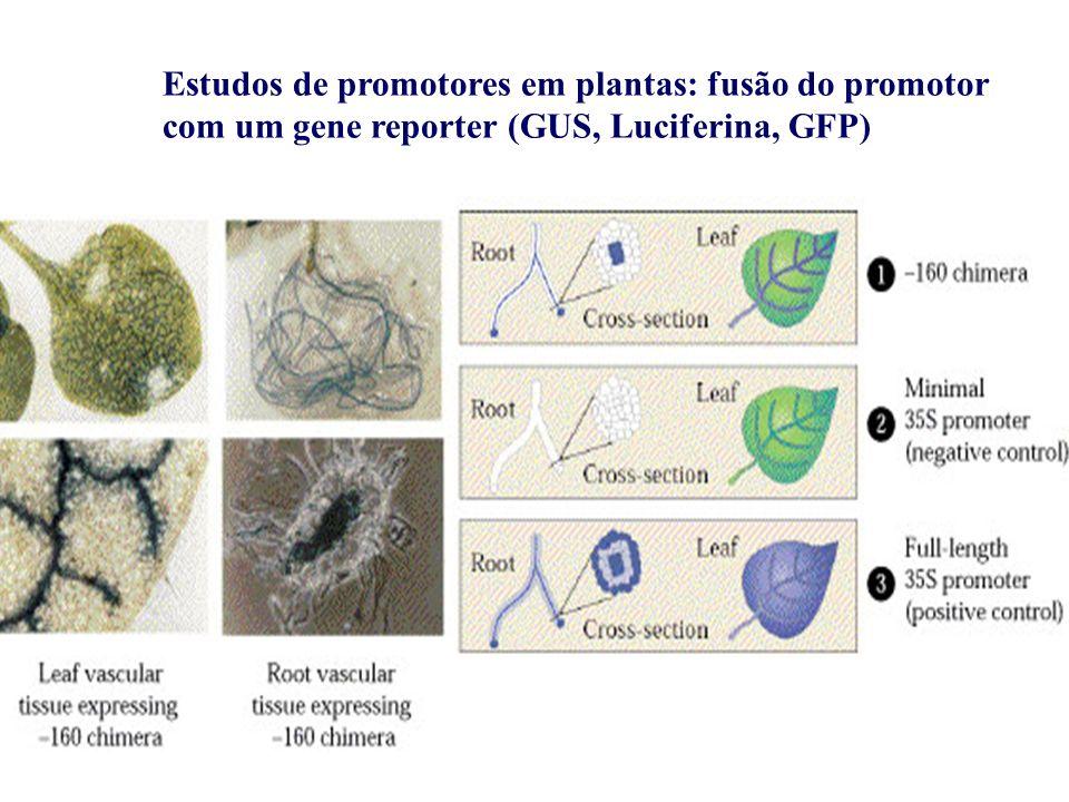 Estudos de promotores em plantas: fusão do promotor