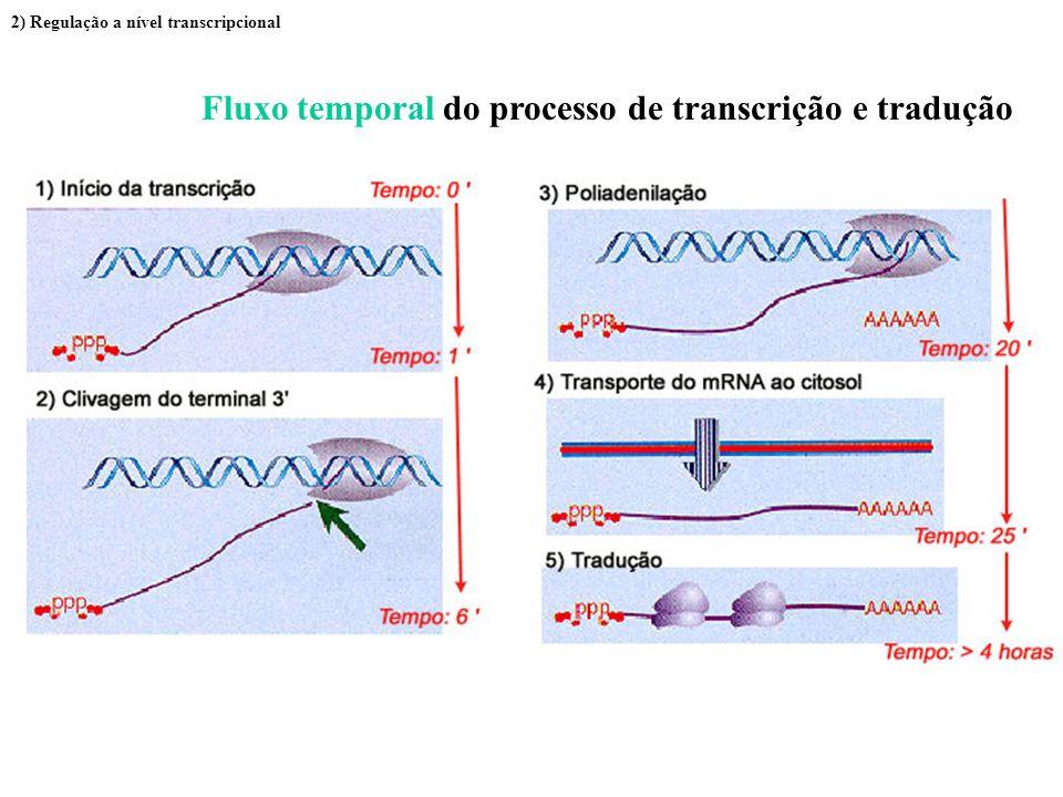 Fluxo temporal do processo de transcrição e tradução