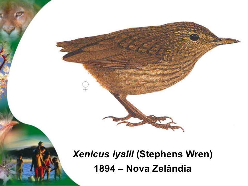 Xenicus lyalli (Stephens Wren)
