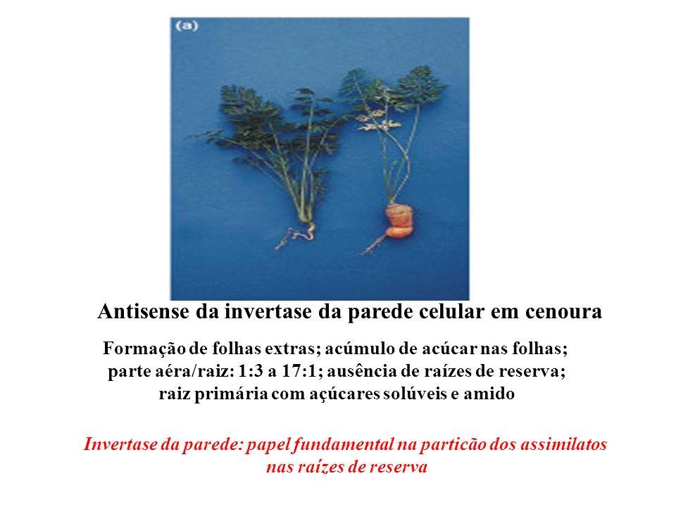 Antisense da invertase da parede celular em cenoura