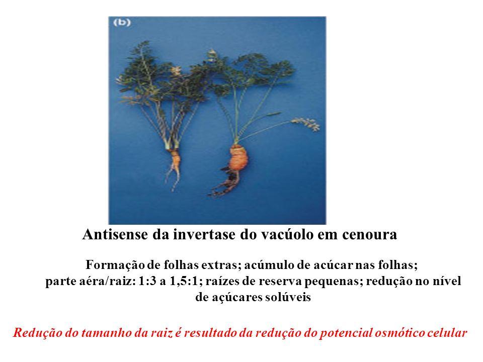 Formação de folhas extras; acúmulo de acúcar nas folhas;