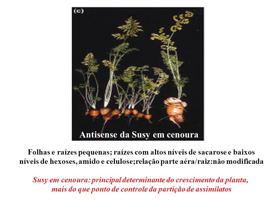 Antisense da Susy em cenoura