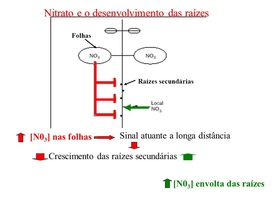Nitrato e o desenvolvimento das raízes