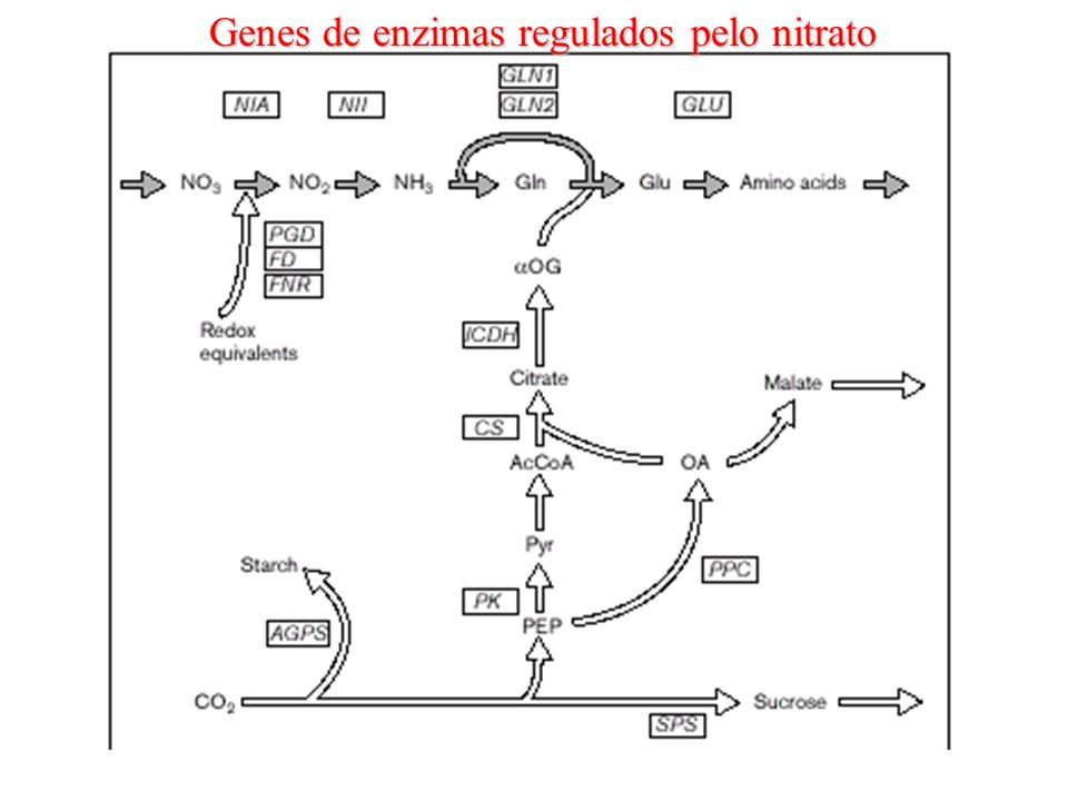 Genes de enzimas regulados pelo nitrato