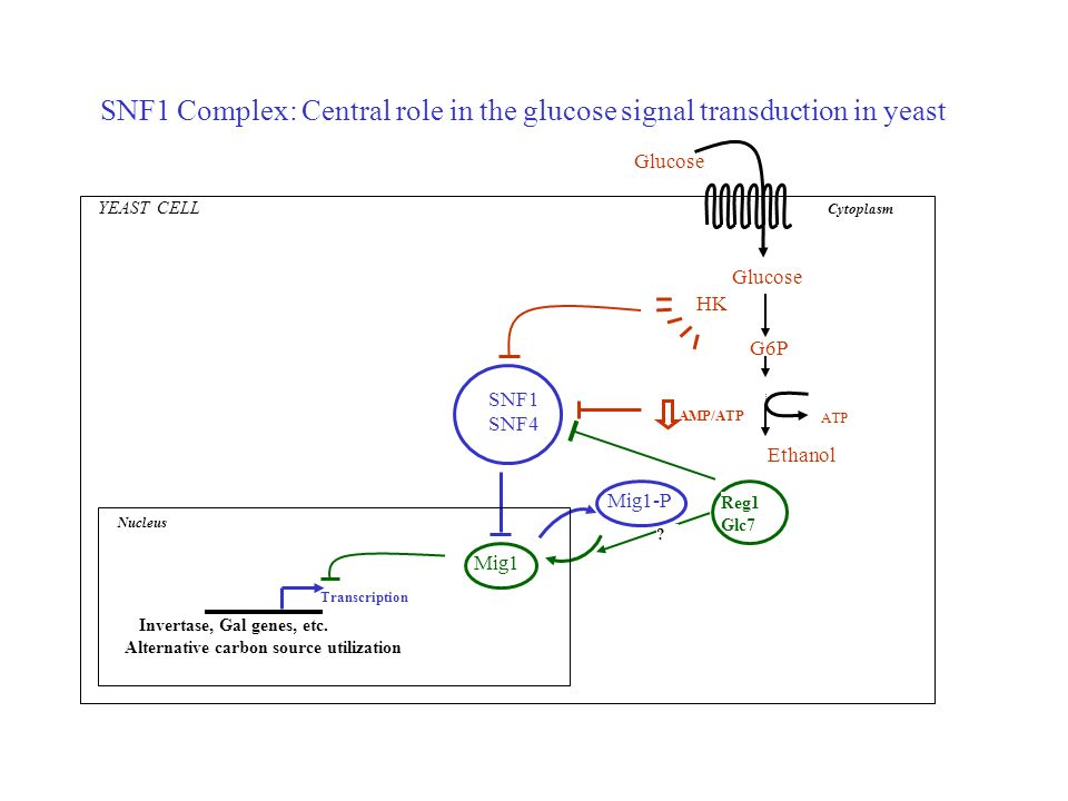 SNF1 Complex: Central role in the glucose signal transduction in yeast