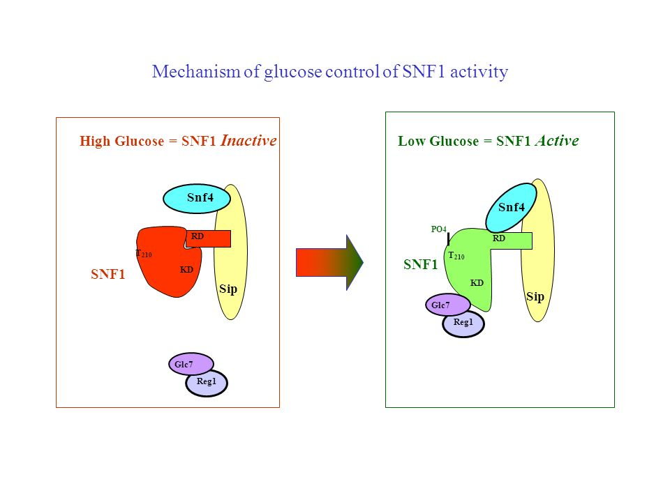 Mechanism of glucose control of SNF1 activity