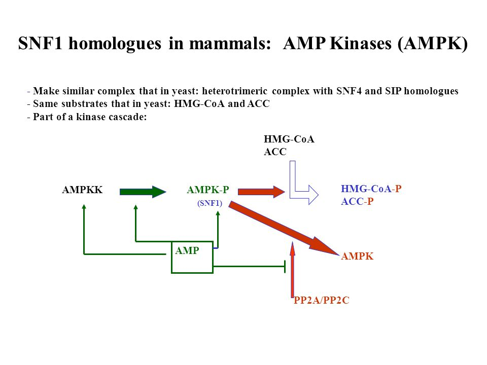 SNF1 homologues in mammals: AMP Kinases (AMPK)