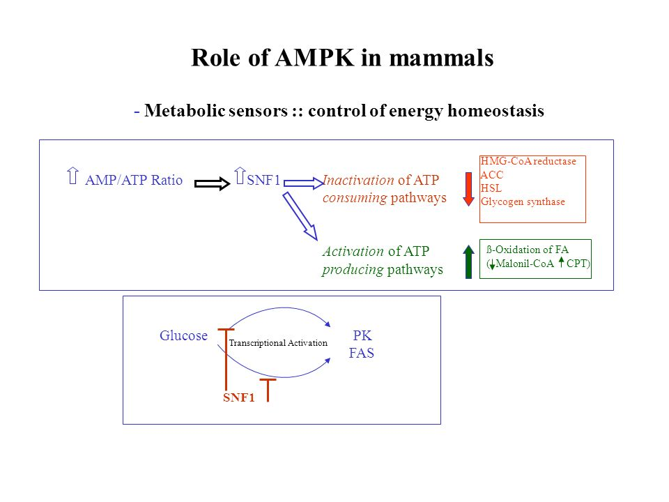 Role of AMPK in mammals - Metabolic sensors :: control of energy homeostasis. AMP/ATP Ratio SNF1 Inactivation of ATP.