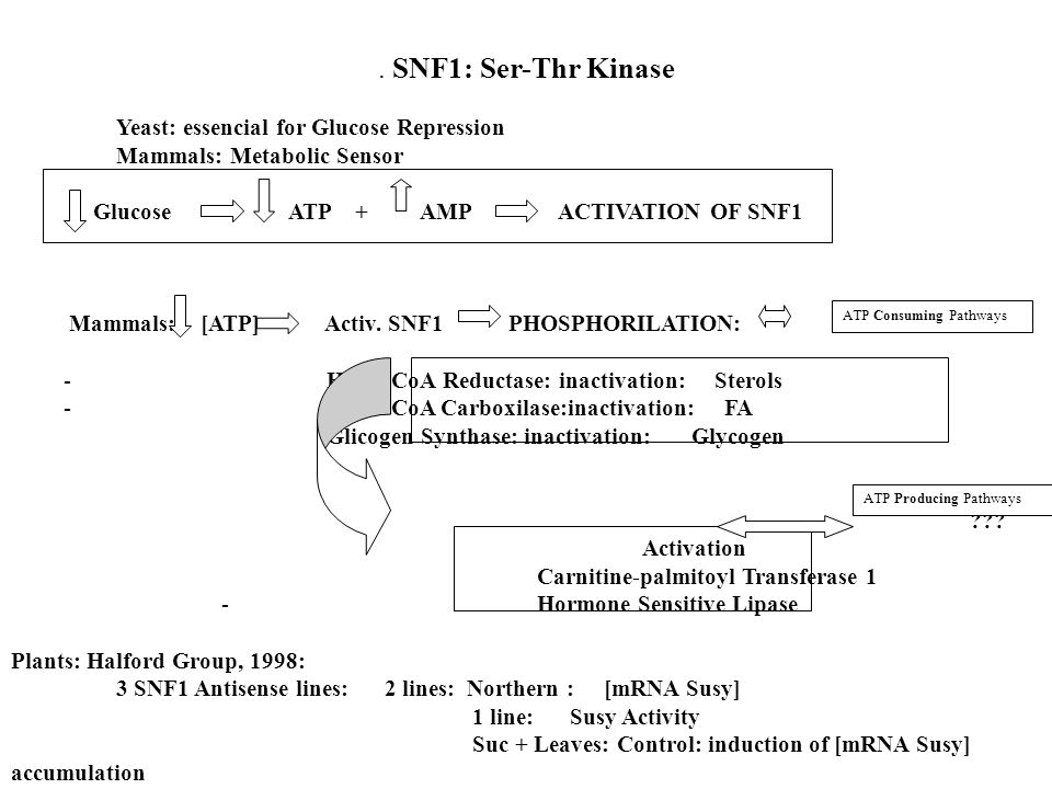 . SNF1: Ser-Thr Kinase Yeast: essencial for Glucose Repression