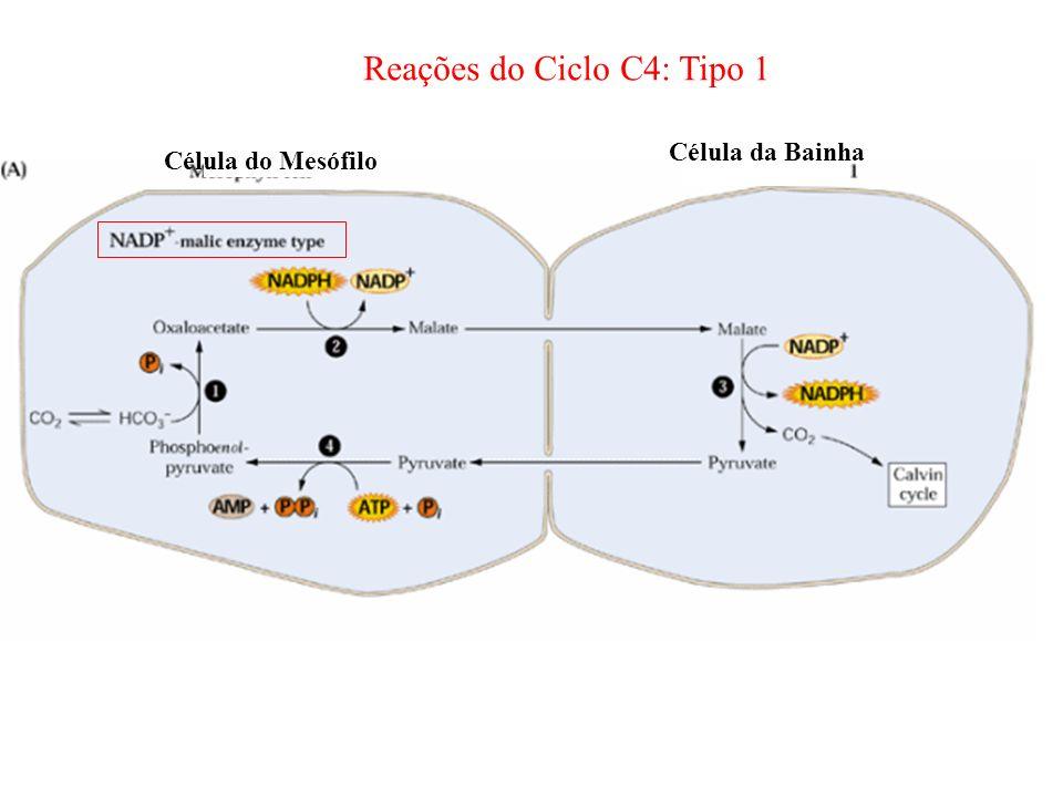 Reações do Ciclo C4: Tipo 1