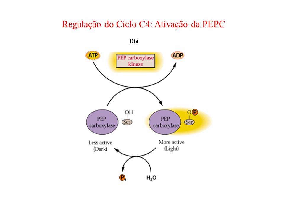 Regulação do Ciclo C4: Ativação da PEPC