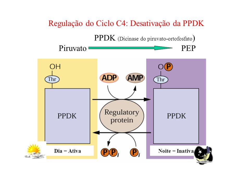PPDK (Dicinase do piruvato-ortofosfato) Piruvato PEP