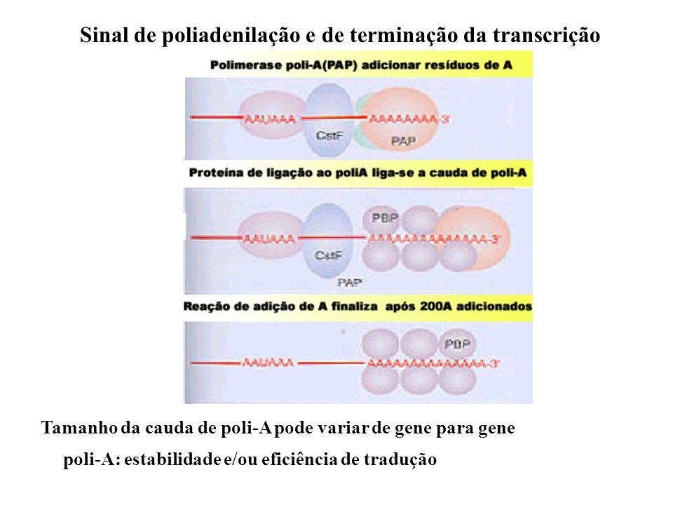 Sinal de poliadenilação e de terminação da transcrição