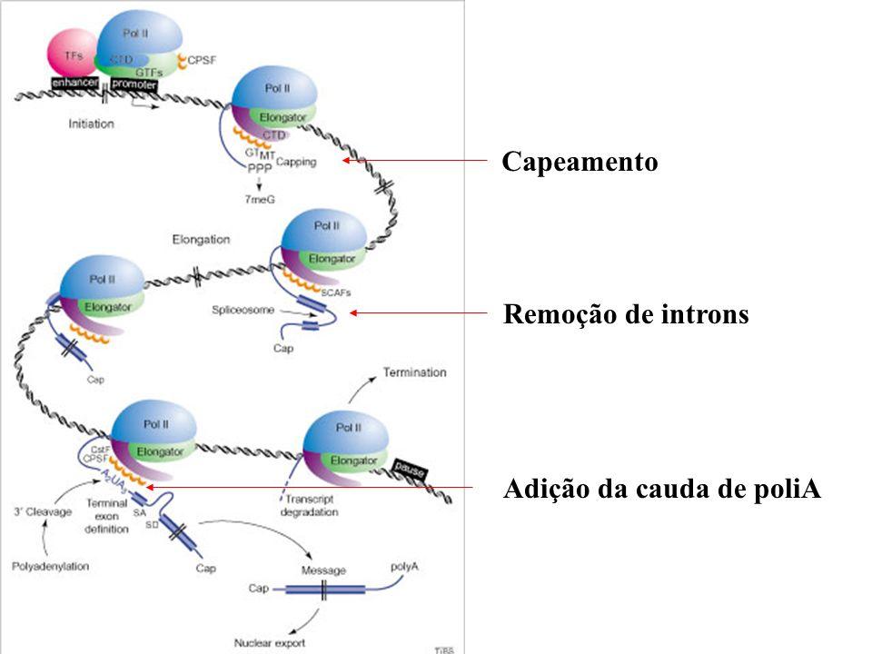 Capeamento Remoção de introns Adição da cauda de poliA