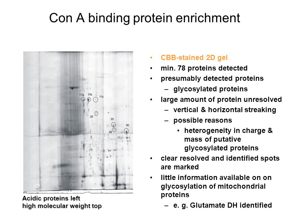 Con A binding protein enrichment