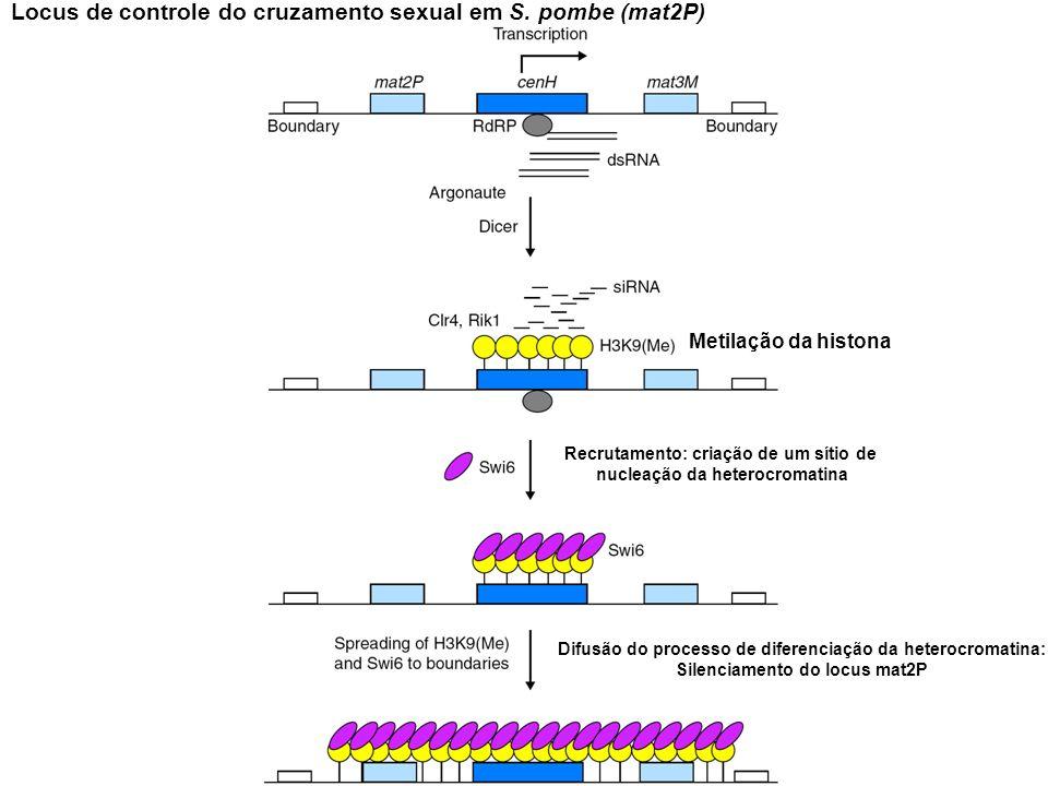Locus de controle do cruzamento sexual em S. pombe (mat2P)