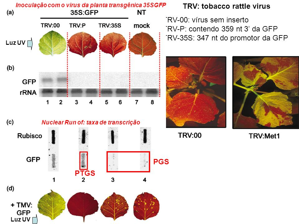 TRV: tobacco rattle virus