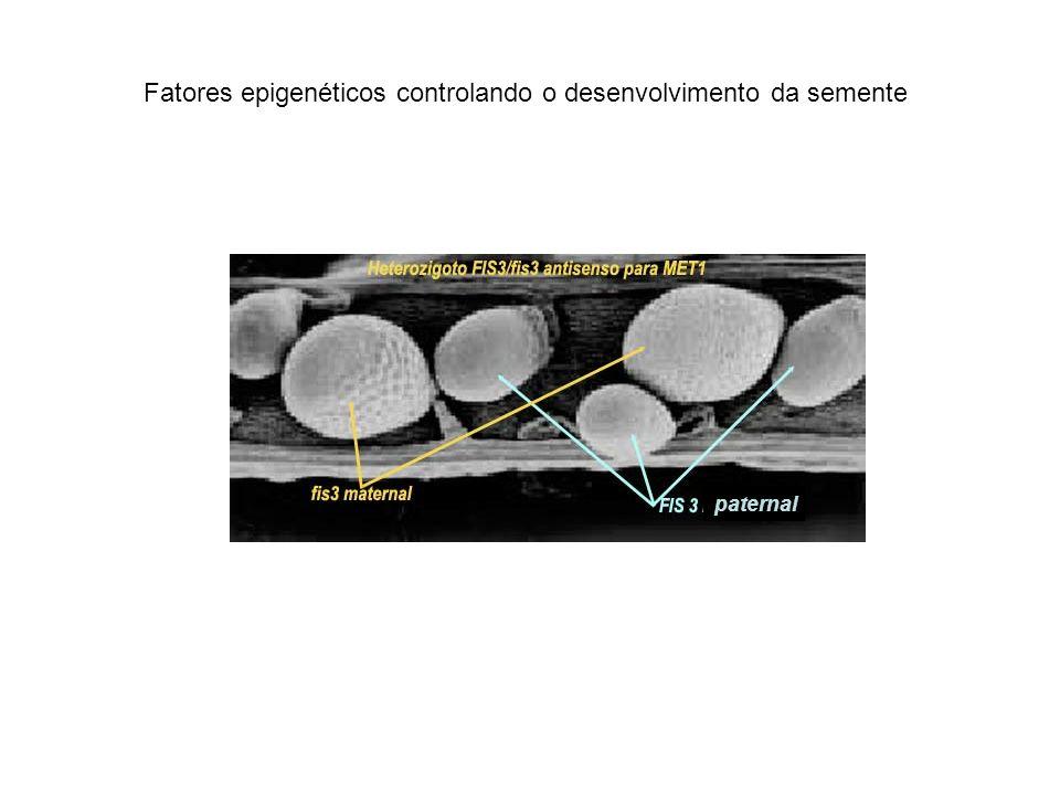 Fatores epigenéticos controlando o desenvolvimento da semente