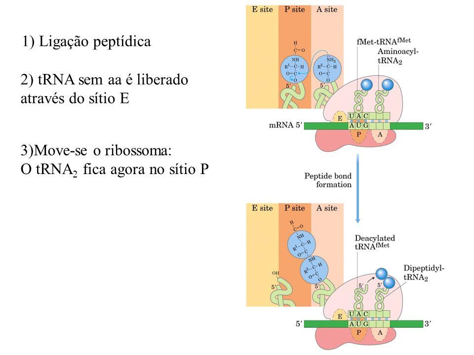 1) Ligação peptídica 2) tRNA sem aa é liberado. através do sítio E.