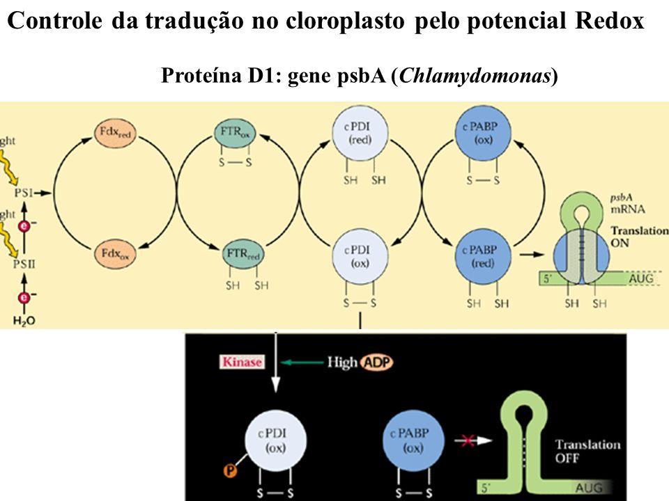Controle da tradução no cloroplasto pelo potencial Redox