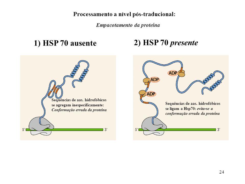 1) HSP 70 ausente 2) HSP 70 presente