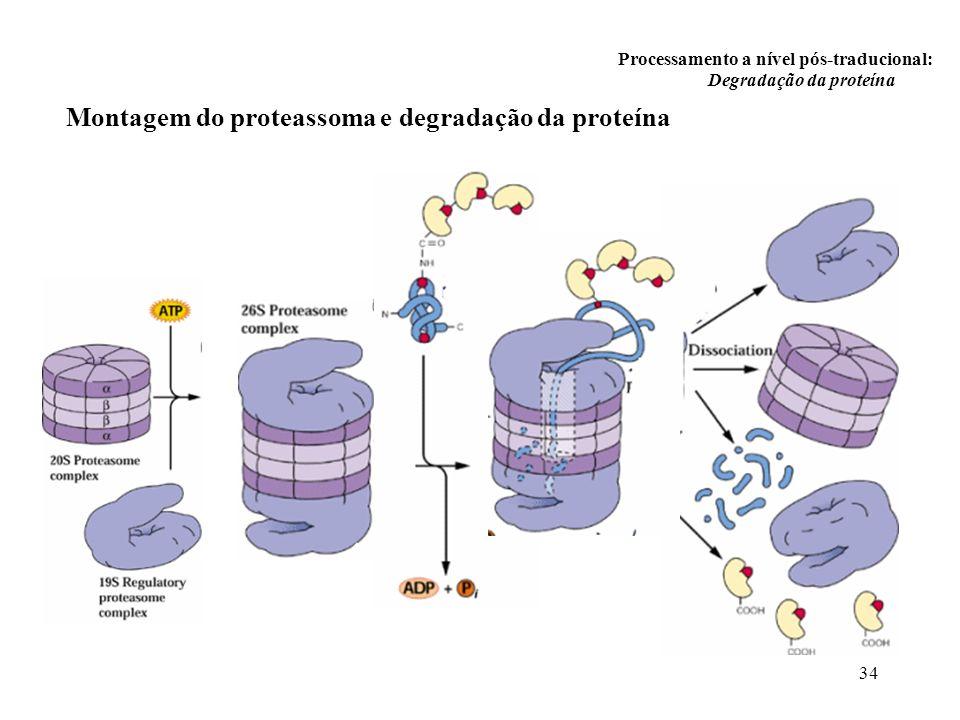 Montagem do proteassoma e degradação da proteína