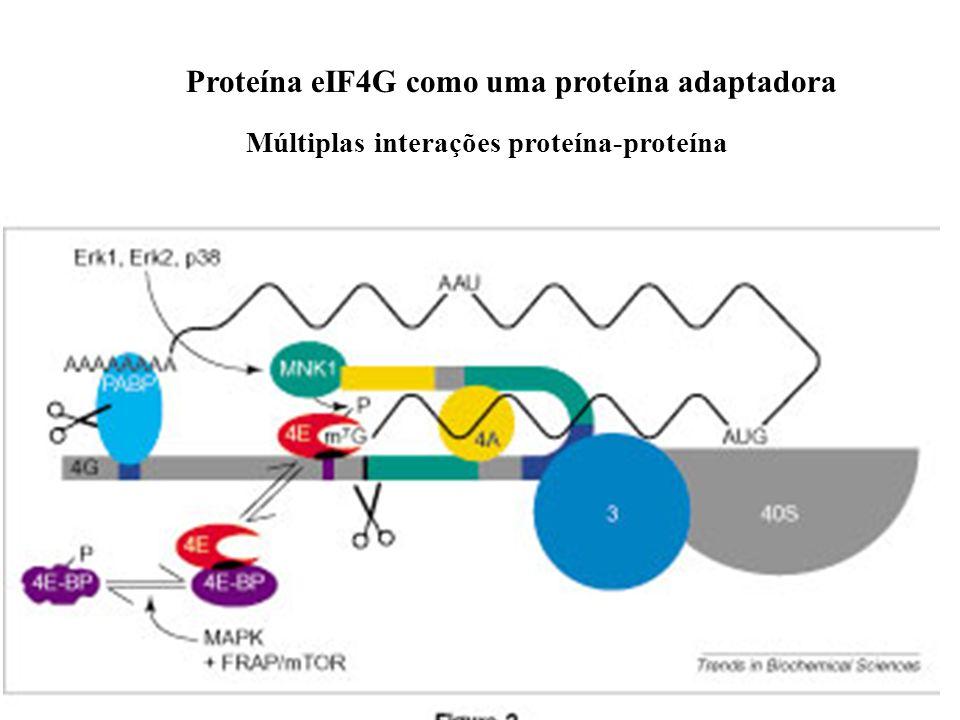 Proteína eIF4G como uma proteína adaptadora