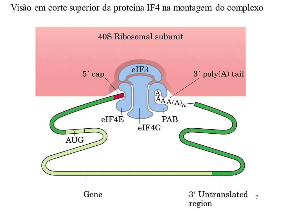 Visão em corte superior da proteína IF4 na montagem do complexo