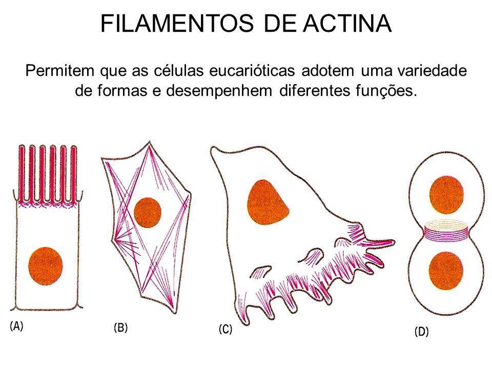 FILAMENTOS DE ACTINA Permitem que as células eucarióticas adotem uma variedade de formas e desempenhem diferentes funções.