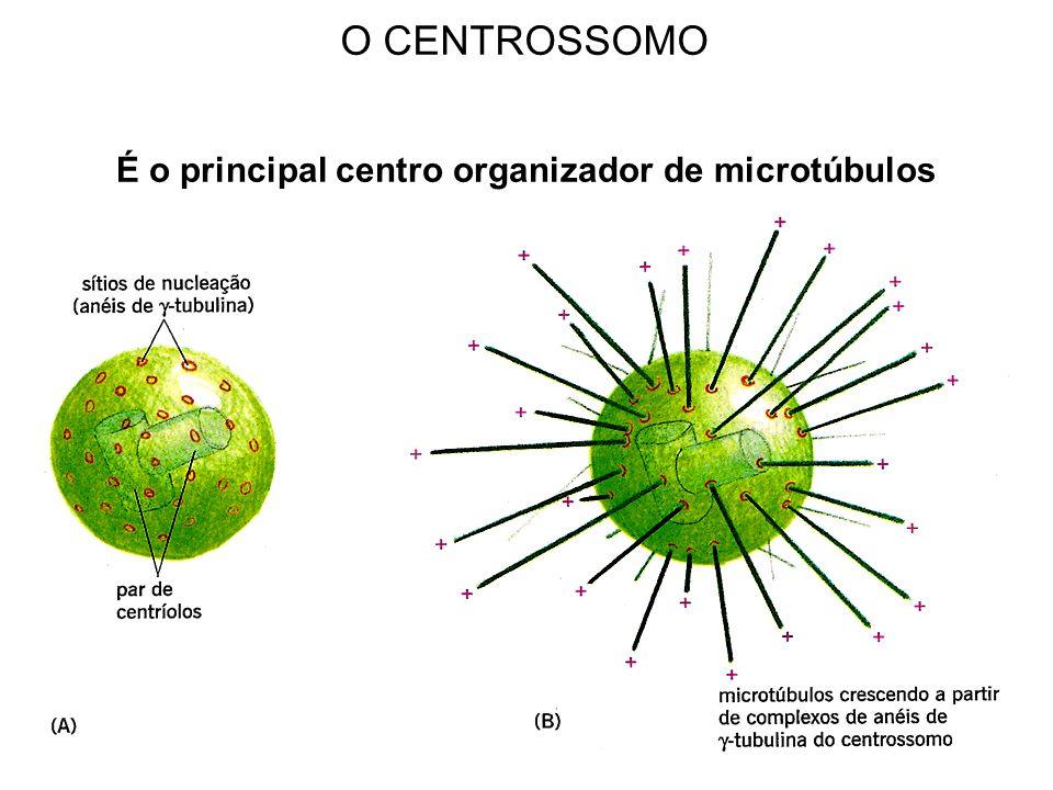 É o principal centro organizador de microtúbulos