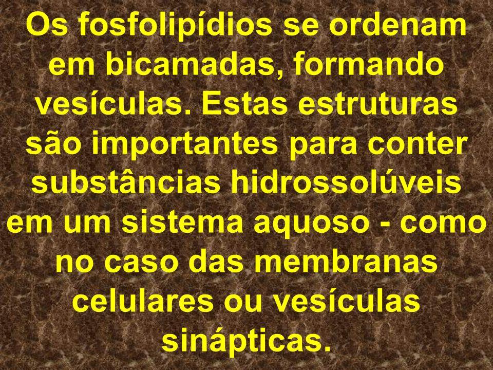 Os fosfolipídios se ordenam em bicamadas, formando vesículas