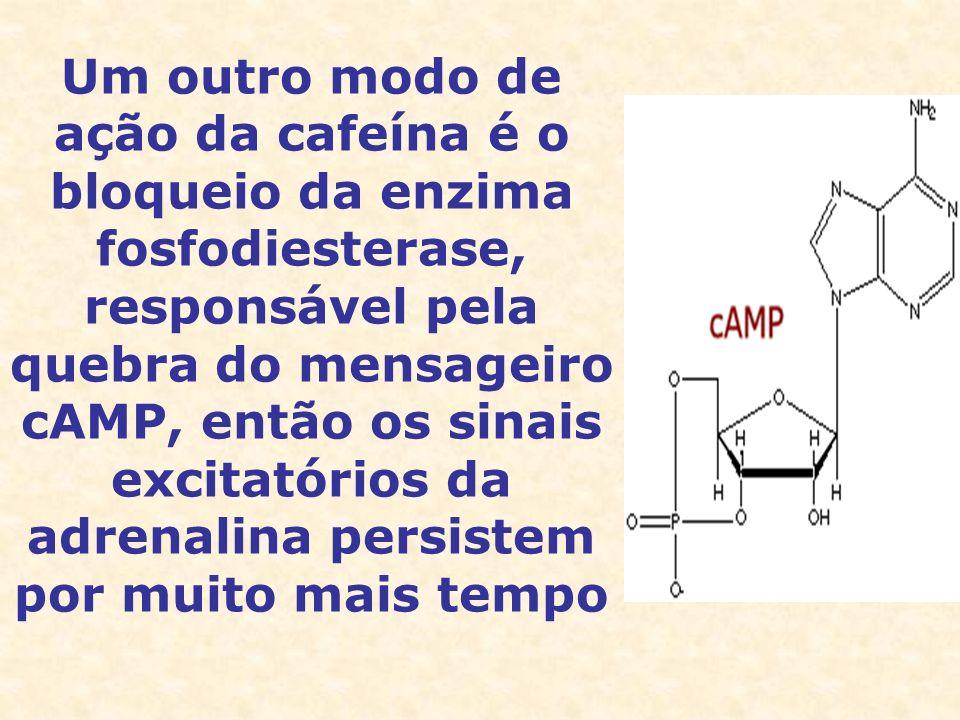 Um outro modo de ação da cafeína é o bloqueio da enzima fosfodiesterase, responsável pela quebra do mensageiro cAMP, então os sinais excitatórios da adrenalina persistem por muito mais tempo
