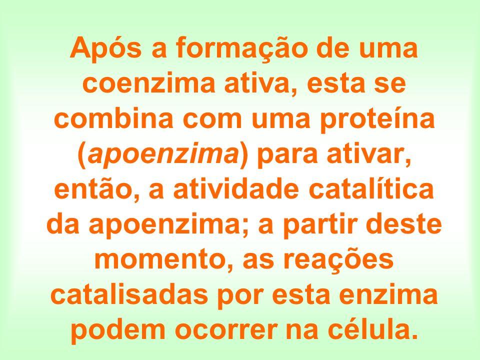 Após a formação de uma coenzima ativa, esta se combina com uma proteína (apoenzima) para ativar, então, a atividade catalítica da apoenzima; a partir deste momento, as reações catalisadas por esta enzima podem ocorrer na célula.