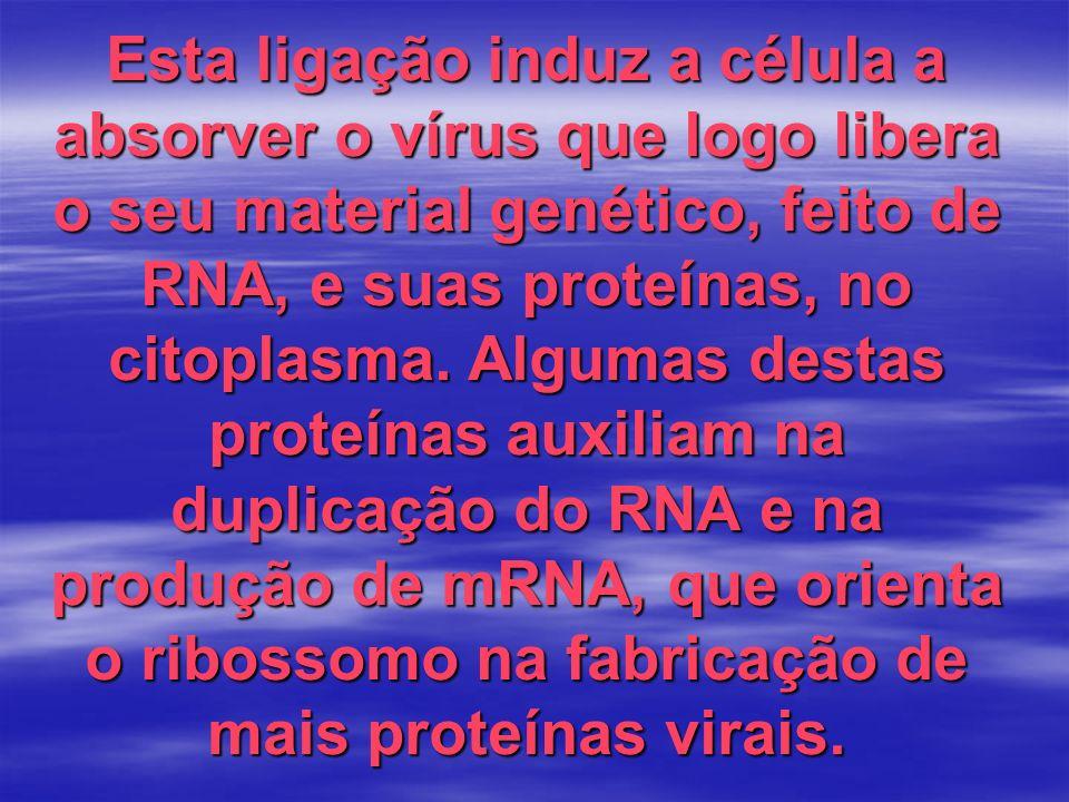Esta ligação induz a célula a absorver o vírus que logo libera o seu material genético, feito de RNA, e suas proteínas, no citoplasma.