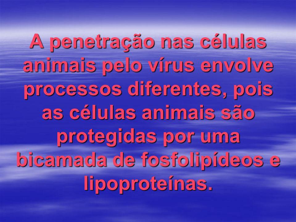 A penetração nas células animais pelo vírus envolve processos diferentes, pois as células animais são protegidas por uma bicamada de fosfolipídeos e lipoproteínas.