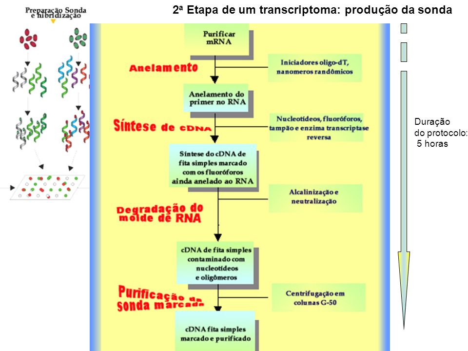 2a Etapa de um transcriptoma: produção da sonda