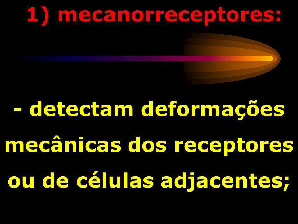 - detectam deformações mecânicas dos receptores