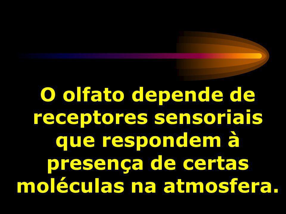 O olfato depende de receptores sensoriais que respondem à presença de certas moléculas na atmosfera.
